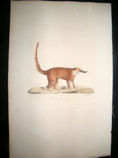 Saint Hilaire & Cuvier C1830 Folio Hand Colored Print. Common Red Coati | Albion Prints